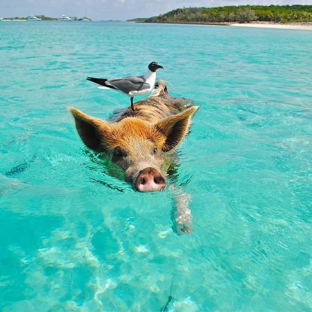 Pig swimming at a beach