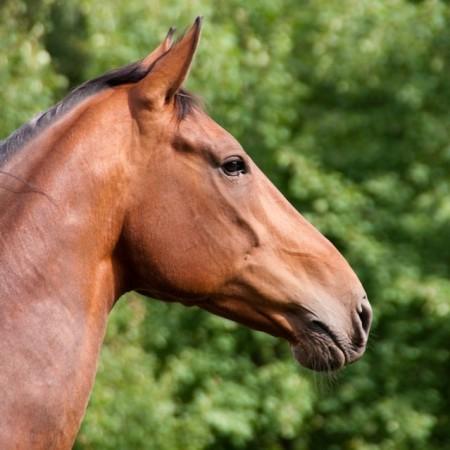 Headshot of a bay horse