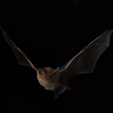 Flying Bat by Michael Pennay on Flickr