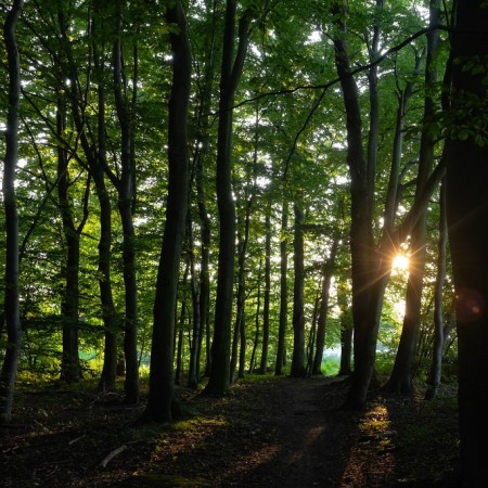 Sunlight between tree trunks in a forest