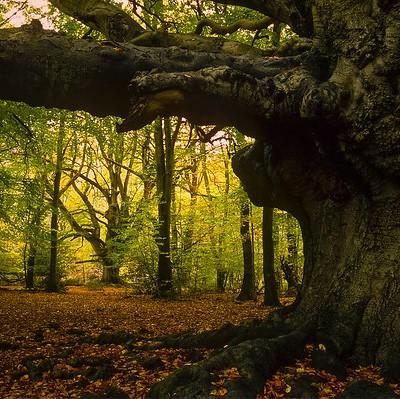 Harry Potter Tree - (Goblet of Fire movie) Ashridge Forest, UK from ukgardenphotos on Flickr