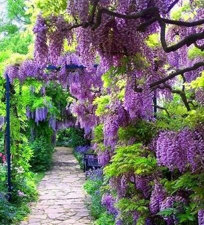 Stone pathway overhung with wisteria