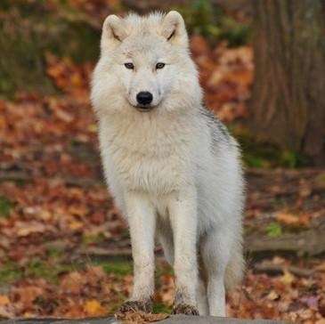 White wolf puppy in autumn forest