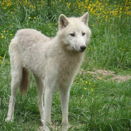 Young white wolf in front of tall grass