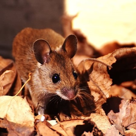 Wood mouse on autumn leaves