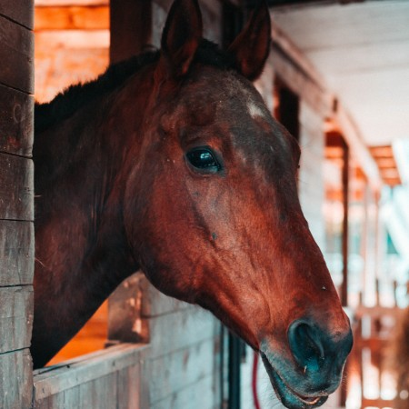 Bay horse looking out of its stall
