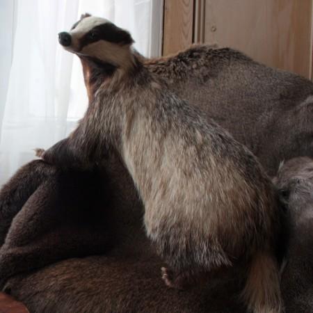 badger on a sofa by max-letek-sbCzlJ9M0V0-unsplash