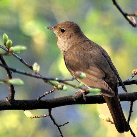 Nightingale_of_ancient_Uglich from Wikipedia Commons